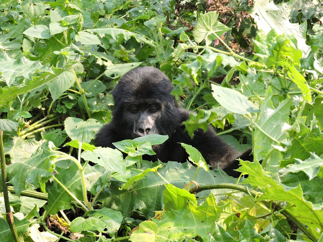 BWINDI IMPENETRABLE FOREST IN UGANDA TRAVEL GUIDE