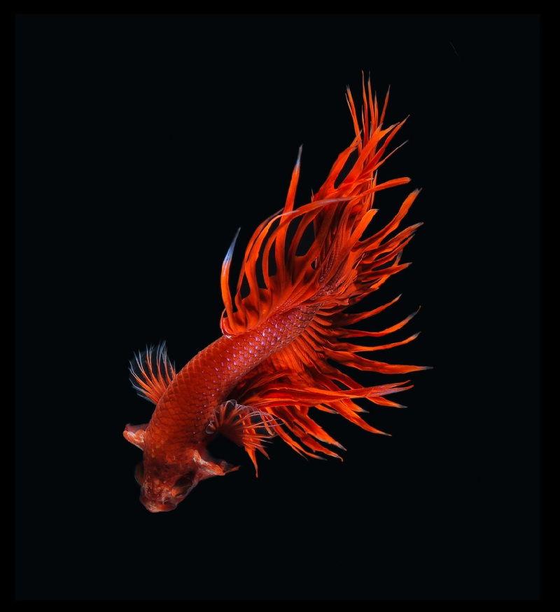 ikan cupan hias termahal