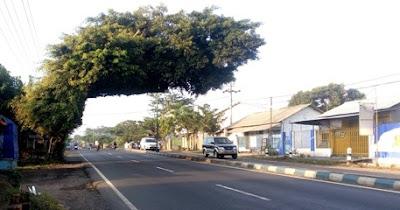 lokasi pohon beringin unik dan aneh