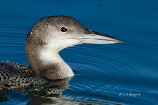 Colimbo grande, Gavia immer, Great Northern Diver