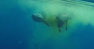 [Vídeo] Turistas filmam tubarão comendo vaca no meio do oceano