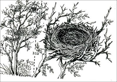 nido de Naranjero Thraupis bonariensis