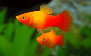 Gambar dan harga ikan Platy Sunset