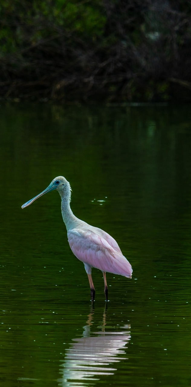 Picture of a roseate spoonbill.