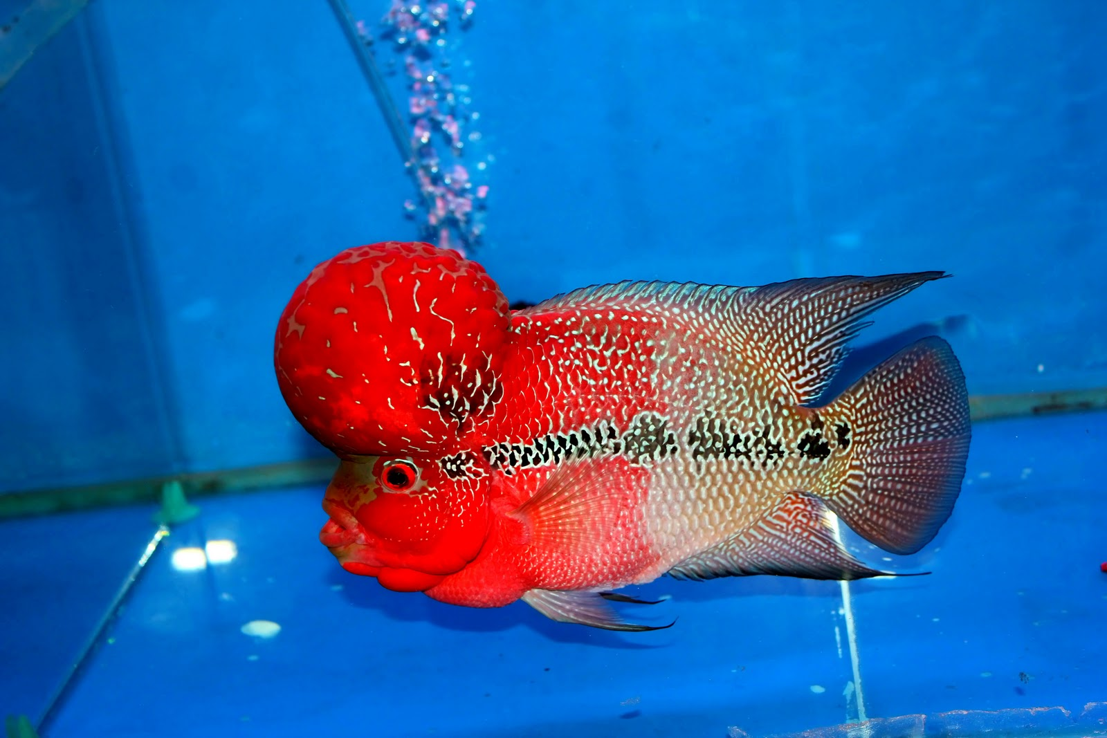Flowerhorn The Hybrid Cichlids: Master Piece - Monster Kok