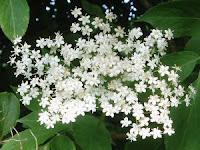 flori de soc