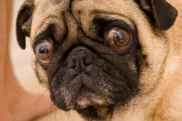 Pugaholics Seu Pug Tem Medo De Estranhos
