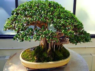 media-tanam-untuk-bonsai.jpg