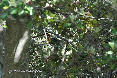 Rosella común (Platycercus eximius)