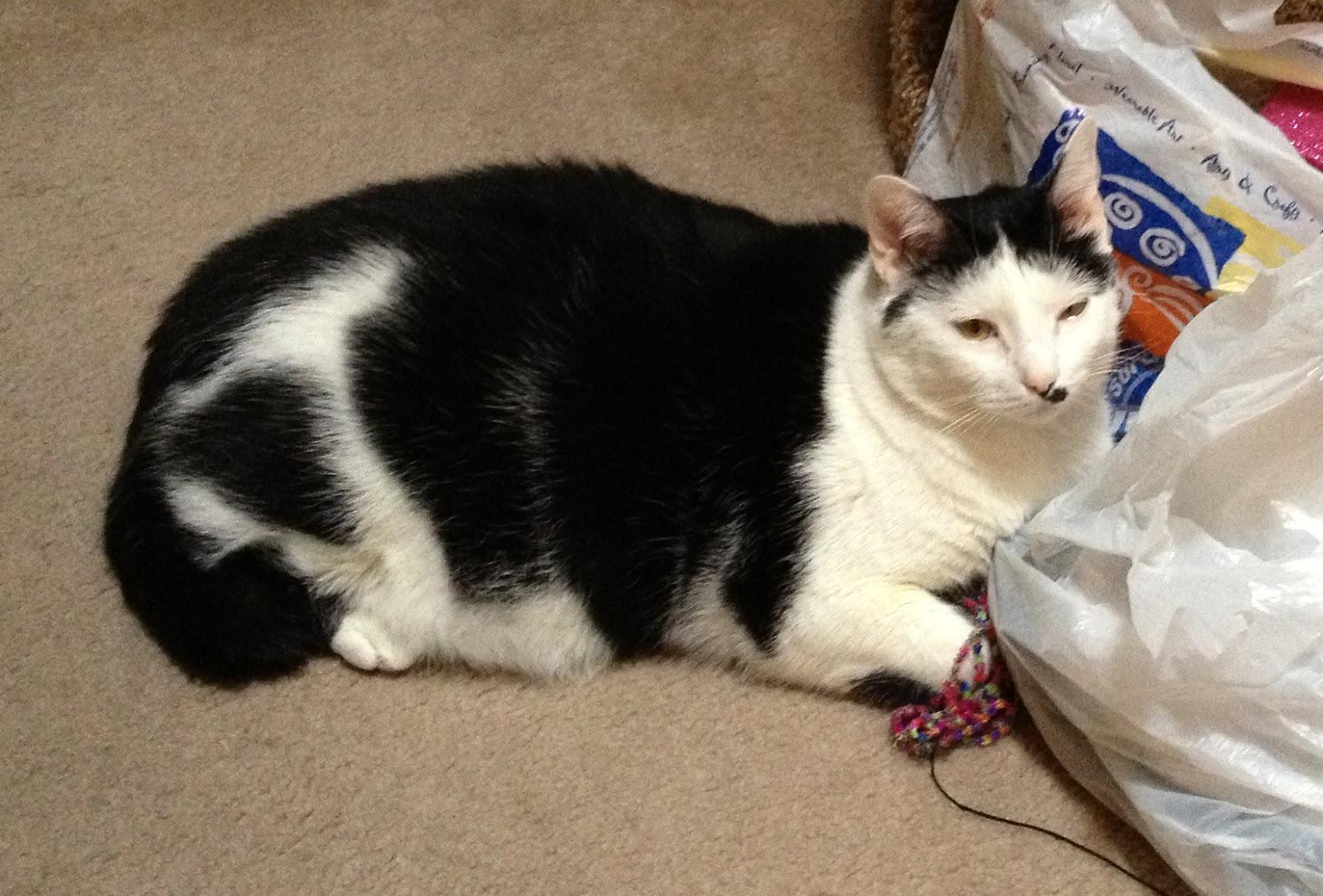 BUDDY The (fat) Cat