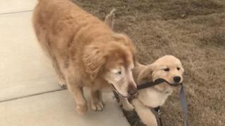Τυφλός σκύλος απέκτησε οδηγό – κουτάβι κι έχουν γίνει πραγματικά αχώριστοι