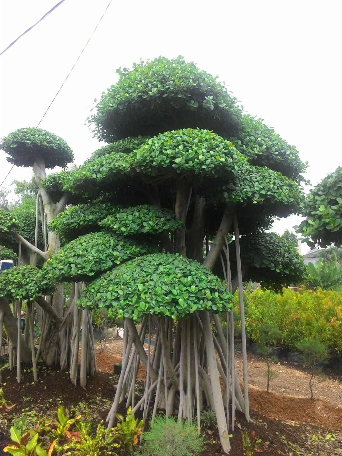 Tukang Pohon Beringin Korea Tukang Pohon Bonsai Cemara