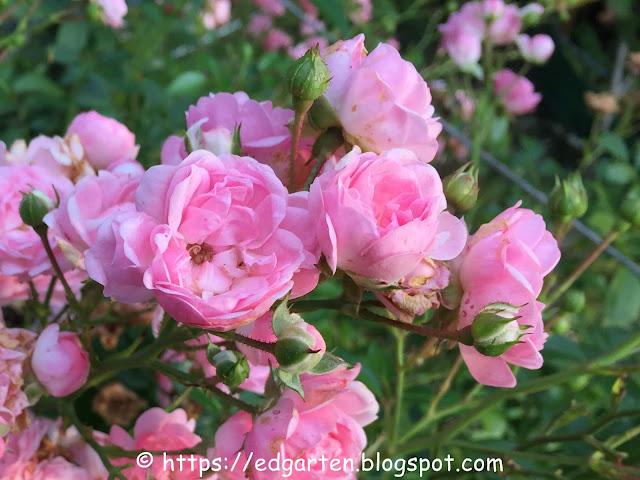 Strauchrose pink