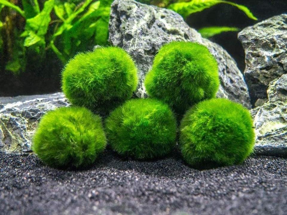 Quả cầu rêu moss ball rất dễ chơi trong bể thủy sinh
