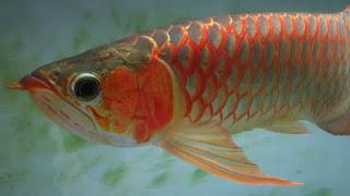 basic warna ikan arwana red