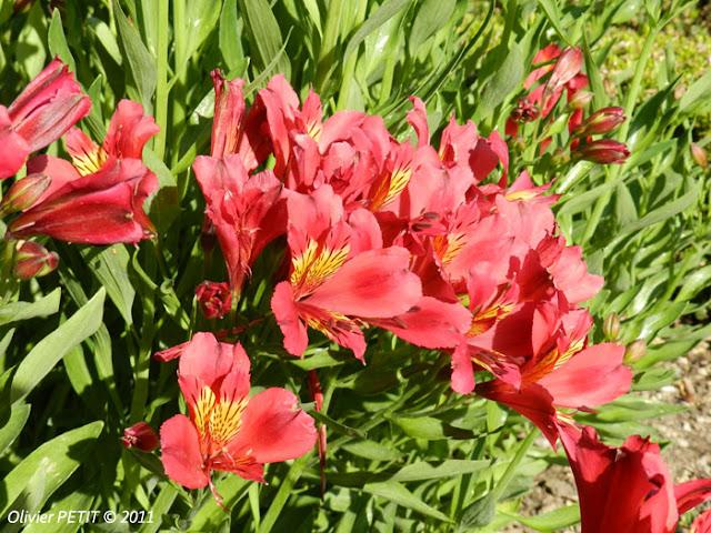 NANCY (54) - Le jardin botanique Dominique-Alexandre Godron - Begonia