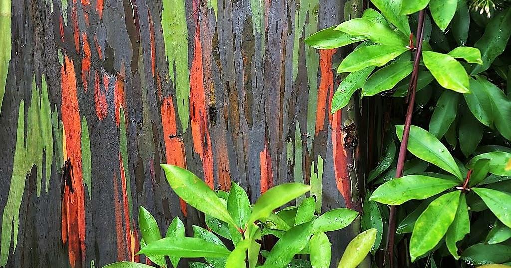 Planting Under Eucalyptus Trees : How to grow the rainbow eucalyptus deglupta garden