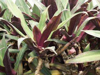 Misère à spathes - Rhoeo bicolore - Tradescantia spathacea