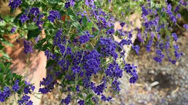 Sus flores son azules y atraen mariposas: Duranta erecta