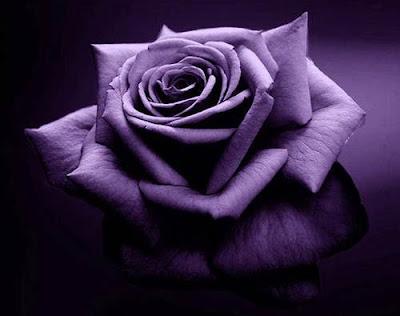 bunga mawar ungu violet ross