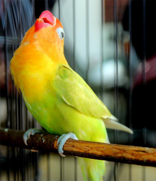 tips ternak burung love bird