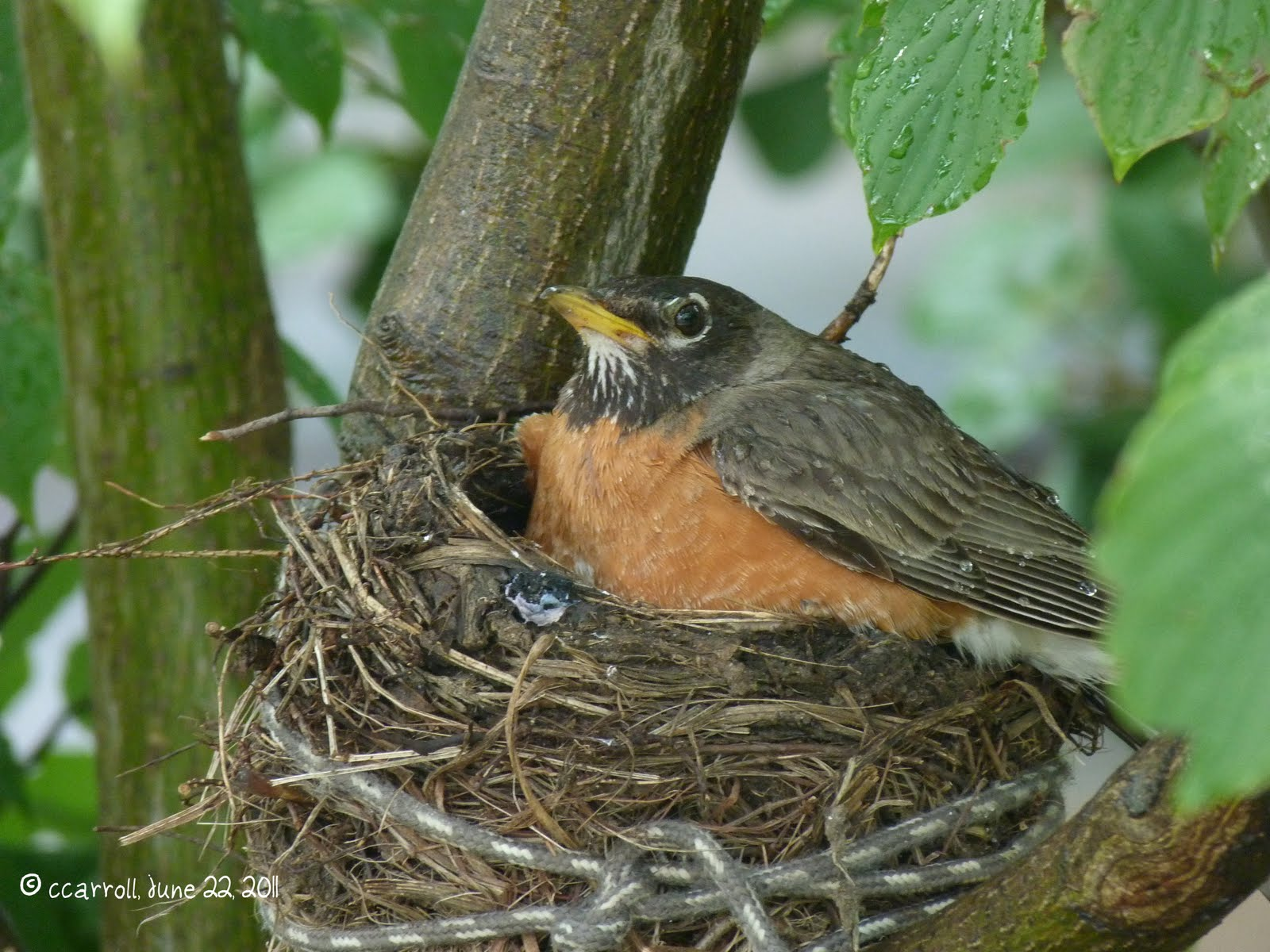 Into the Woods and Elsewhere: Praise for a baby robin