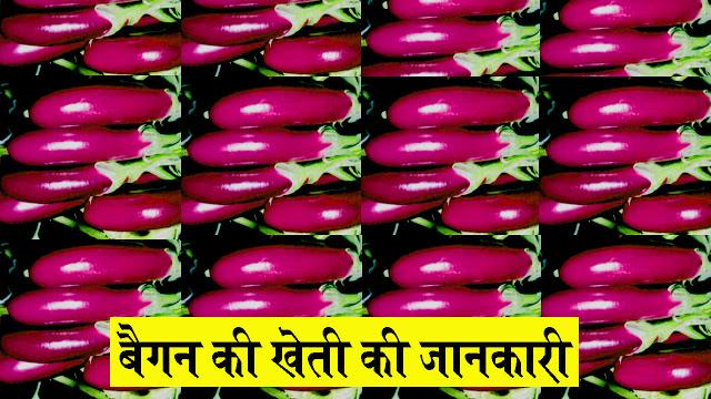 baigan ki kheti hindi mein