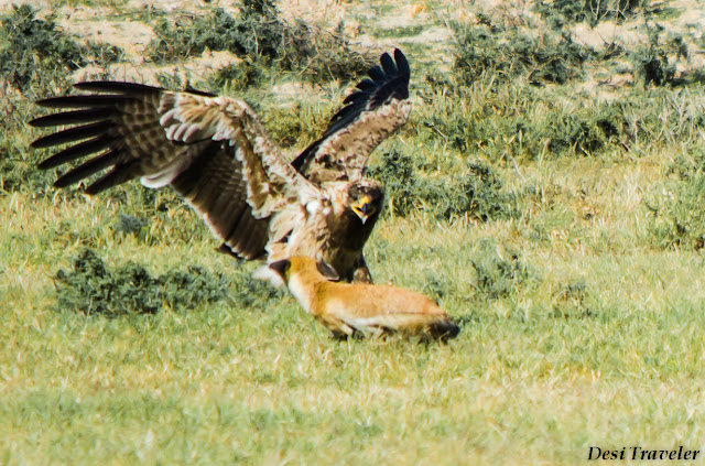 fox and eagle fighting in jungle