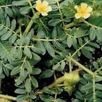 gambar tanaman tribulus