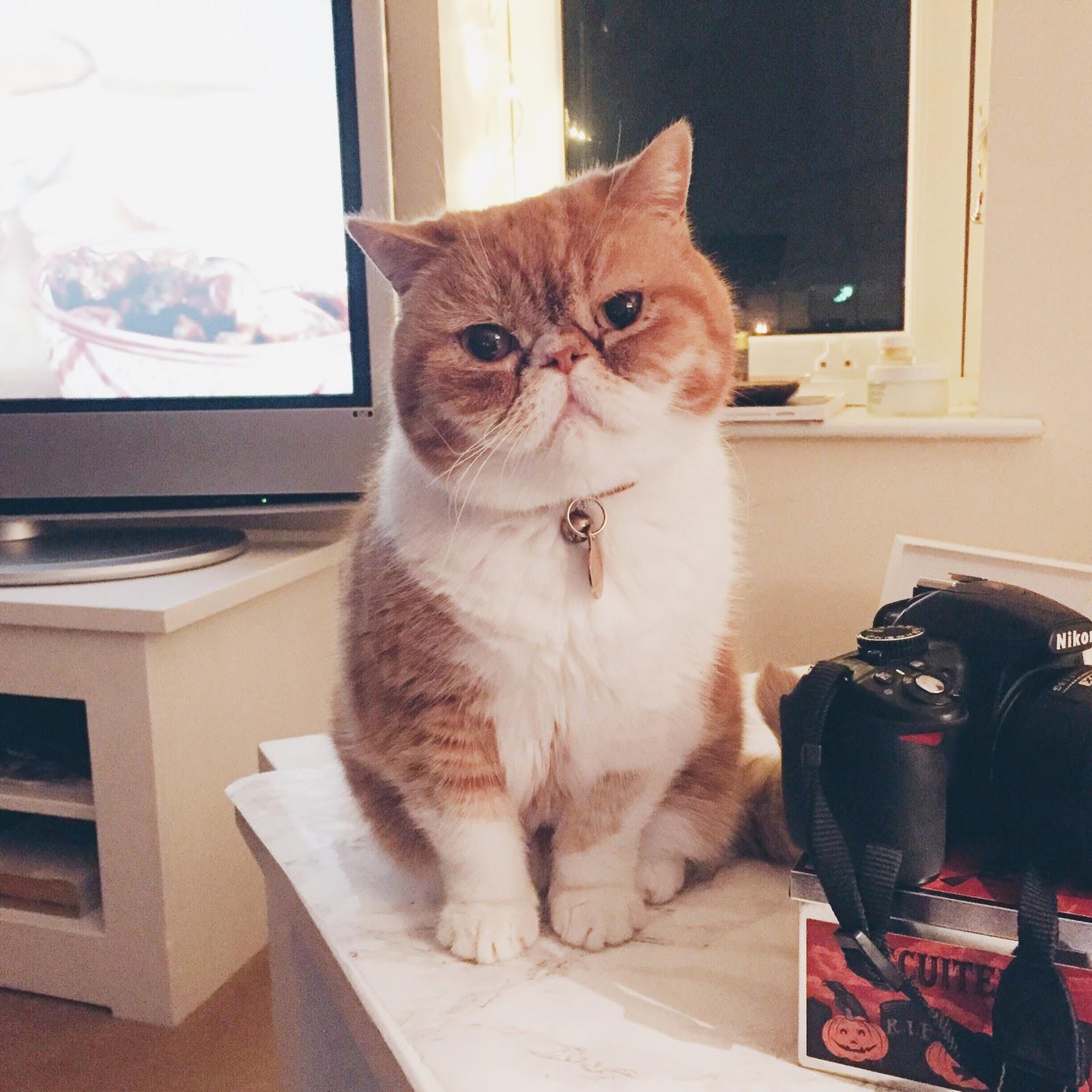 exotic shorthair cat