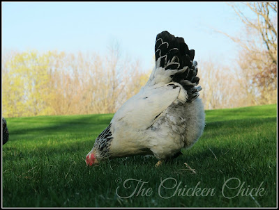 What is the best quality life I can afford my chickens given my risk tolerance for loss to predators?