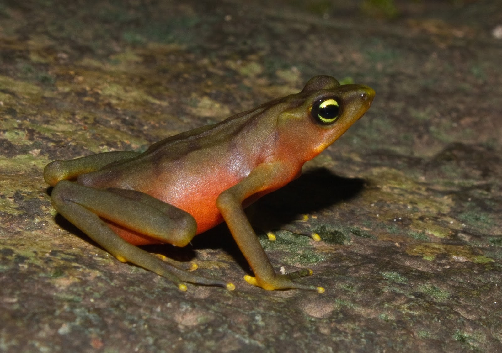 Amphibians: Atelopus limosus female