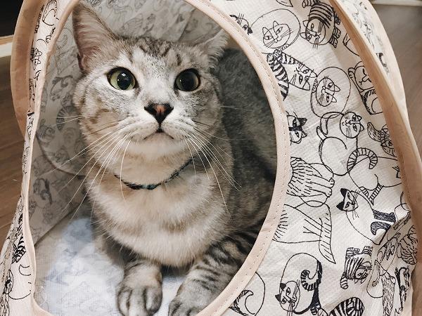 テントの中でご機嫌な表情のサバトラ猫