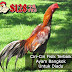 Ciri-Ciri Fisik Terbaik Ayam Bangkok untuk diadu