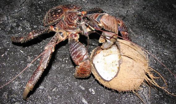 Eles escalam o coqueiro, apanham o coco e rasgam a casca em tiras usando suas pinças , em seguida, batem na fruta repetidamente até que ela se rompa.