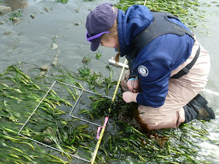 An AmeriCorps member lays a square plot in some eelgrass as part of a monitoring site visit on Cypress Island Aquatic Reserve.