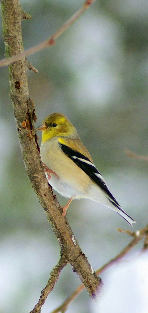 Picture of an American goldfinch.