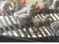 Tips Memilih Bibit Ayam Petelur Bermutu