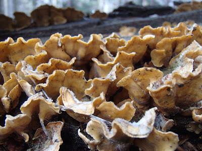 Las Bronaczowa, rezerwat Kozie Kąty,wiosna w podkrakowskich lasach, wielkanocny spacer, grzyby nadrzewne, grzyby w marcu,  drewniak szkarłatny Hypoxylon fragiforme, wrośniak garbaty - Trametes gibbosa,  łzawnik rozciekliwy Dacrymyces stillatus, trąbka zimowa Tubaria hiemalis, miodunka ćma Pulmonaria obscura, żywiec gruczołowaty Cardamine glanduligera, podbiał pospolity Tussilago farfara