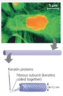Intermediate Filamen adalah, Sitoskeleton (cytoskeleton), macam – macam Sitoskeleton, jenis jenis Sitoskeleton