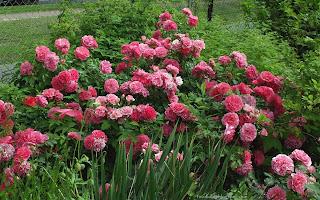 http://fotobabij.blogspot.com/2015/03/roza-pink-fairy-rosa.html