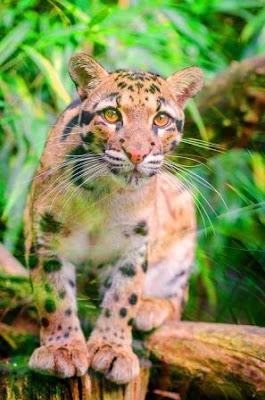 clouded leopard of Dibru Saikhowa National Park, Images of Animals