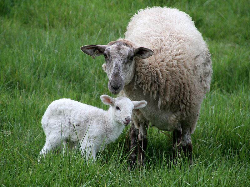 Shepherd's Notebook: Lambing Record Workbooks