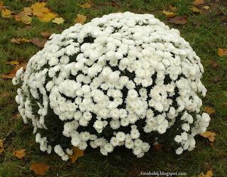 http://fotobabij.blogspot.com/2015/04/chryzantema-elda-white-chrysanthemum.html