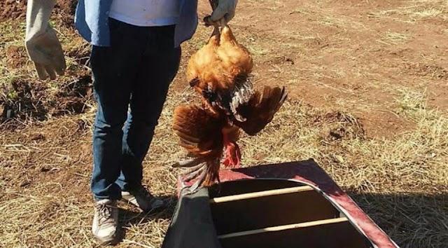 Polícia fecha rinha de galos com 34 aves bastante feridas; dono fugiu