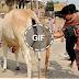 اكتشاف معجزه فى البقر الذى تعبده الهند تحير العالم واخبرنا بها الرسول منذ 1400 عام