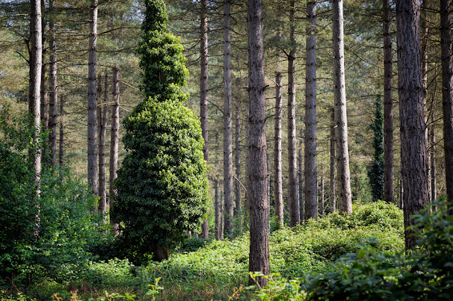 Pine tree woodland at Thetford Forest in Lynford Arboretum