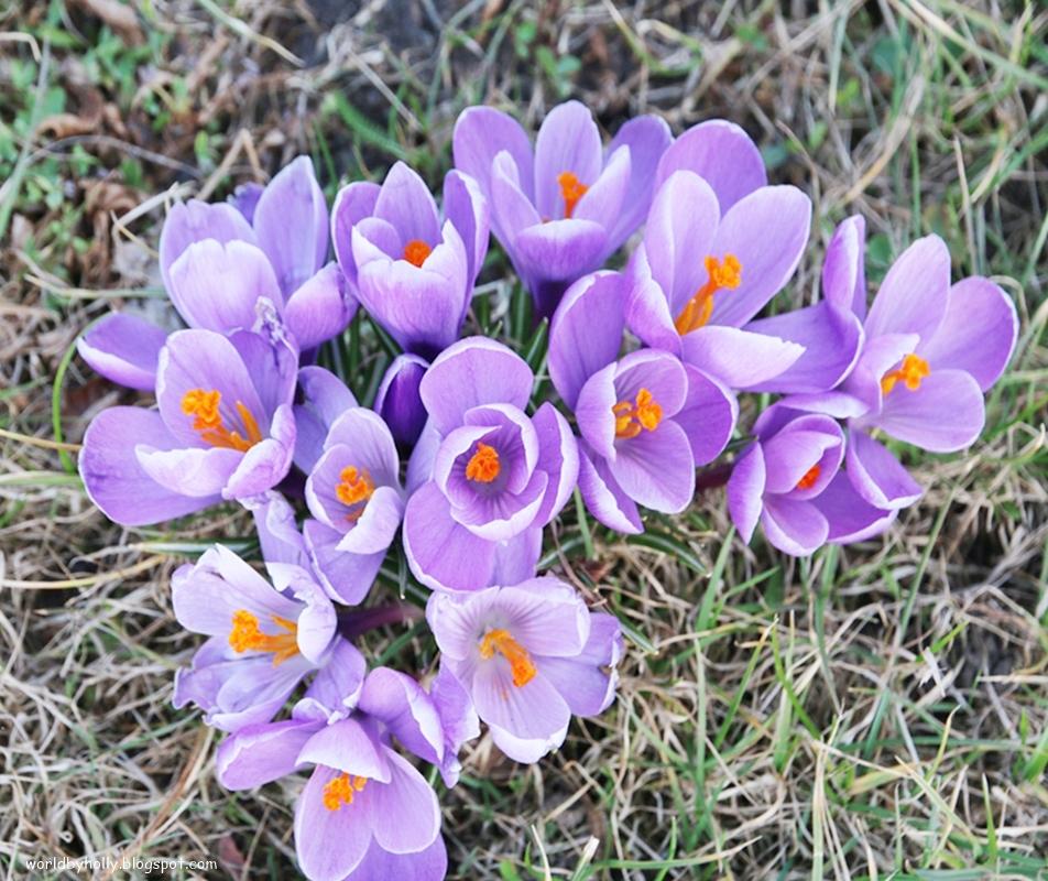 krokusy, wiosenne kwiaty