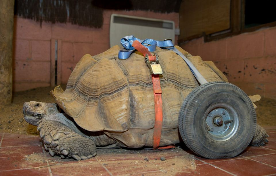 Bert Tortoise Has Set Of Wheels Fitted After sex sessions