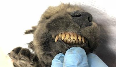Anjing Berusia 18.000 Tahun Ditemukan Membeku Di Siberia